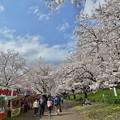 Photos: 散り始めた権現堂の桜-3