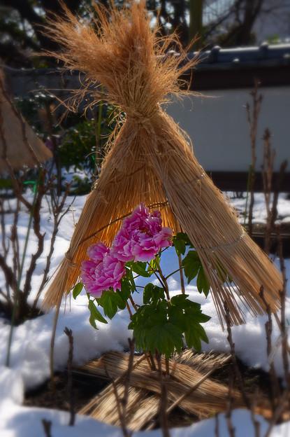 冬牡丹 (3)