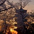Photos: 桜に埋まる