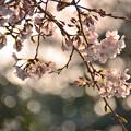 Photos: 桜花 (2)