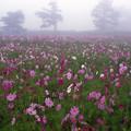 Photos: 霧中に咲く