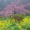 雨に煙る河津桜