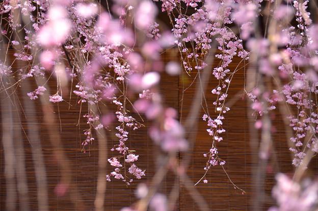 紅しだれ桜4