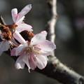 Photos: DSCF0320 十月桜