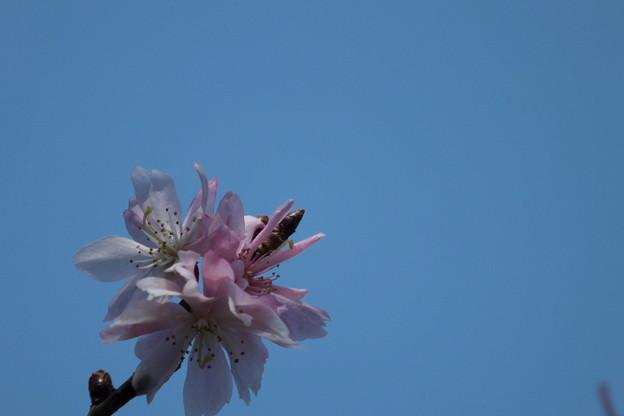 Photos: DSCF0329 十月桜