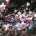 Photos: DSCF0332十月桜