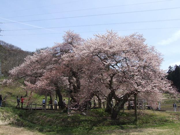 0185 石部桜