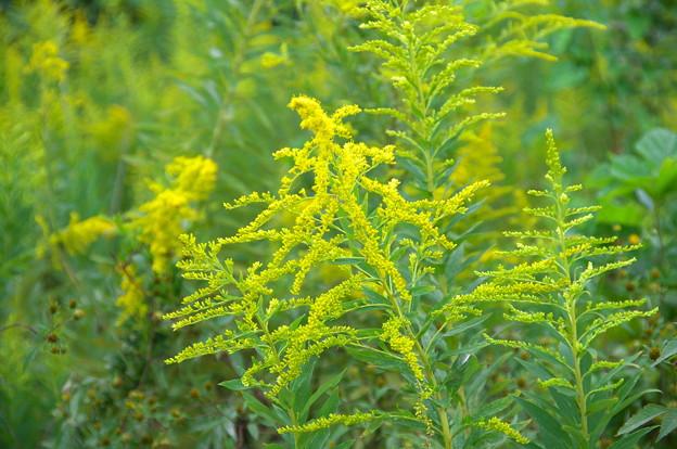 憎っくき黄色い花