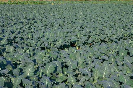 一面の野菜畑