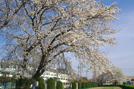 工業団地の桜