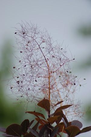 煙の木(ケムリノキ)