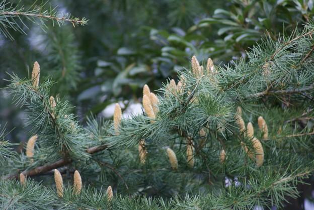 ヒマラヤ杉(ヒマラヤスギ)