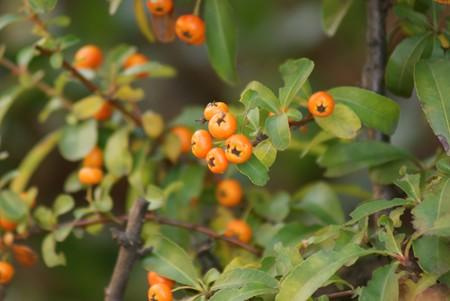 橘擬(タチバナモドキ)