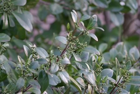 木茘枝(モクレイシ)