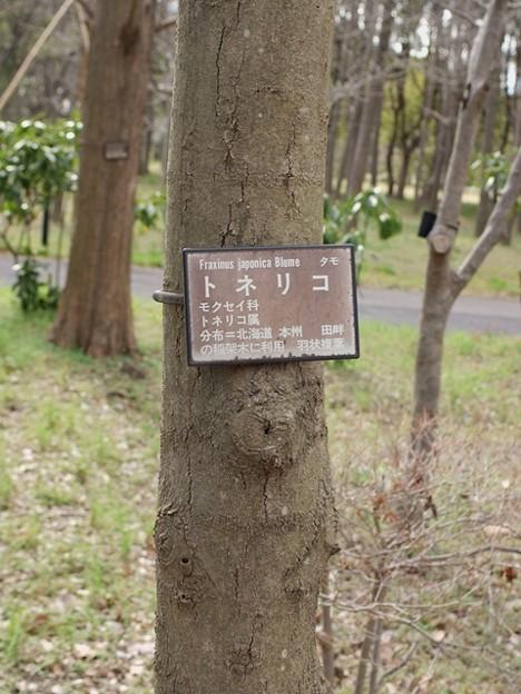 トネリコ 樹皮