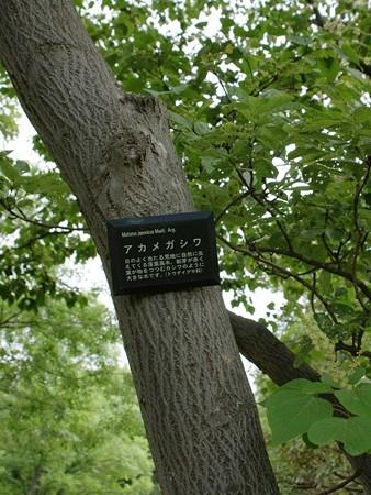アカメガシワ 樹皮