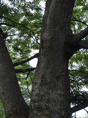 ケヤキ 樹皮