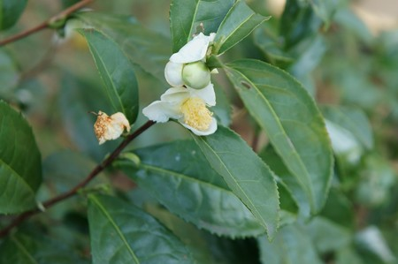 茶の木(チャノキ)
