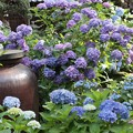写真: 「かめ」と紫陽花