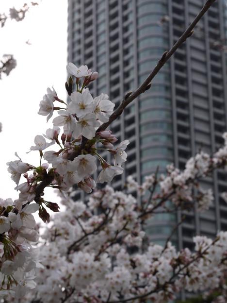 見上げる桜の向こうには