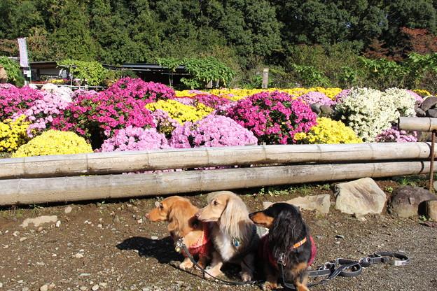ざる菊とプチ大地メレ