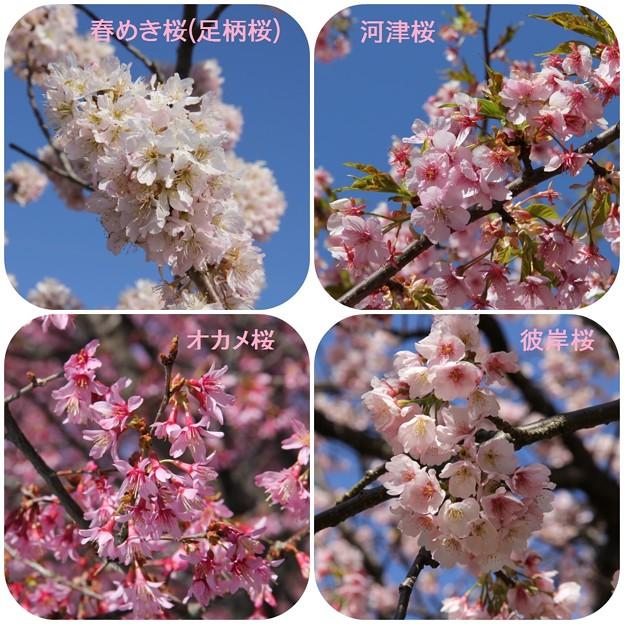 早咲き桜(2014年3月22日南足柄&小田原)