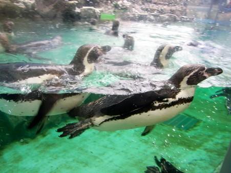 20120715 松島 ペンギンプール05
