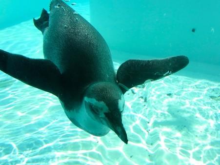 20120812 王子 水中フンボルト06