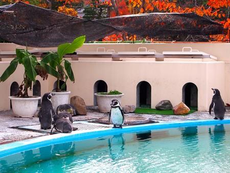 20121124 京都動 ペンギンプール02