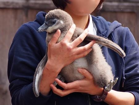 20130224 掛川 2月生まれヒナちゃん04