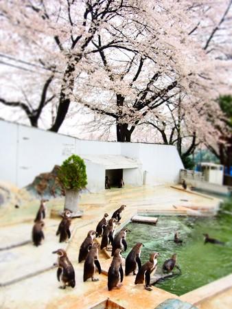 20130330 羽村 桜フンボ04