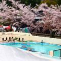 20130406 京都 桜のペンギンプール01
