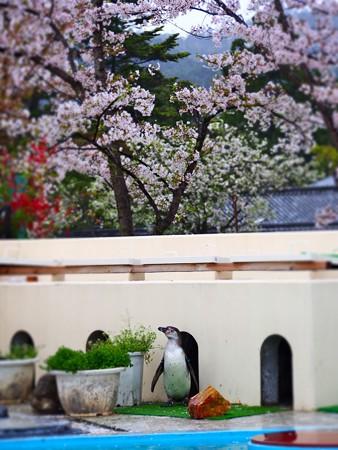 20130406 京都 桜とススキ03