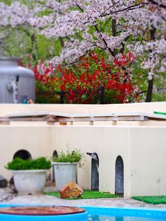 20130406 京都 桜とススキ01