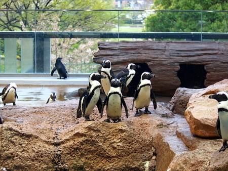 20130406 京都水 ペンギン達04