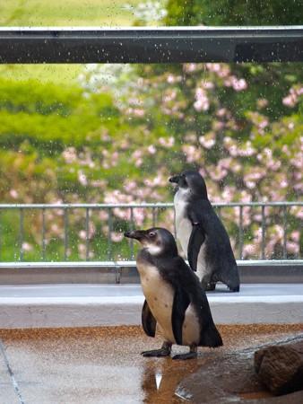 20130406 京都水 ペンギン達03