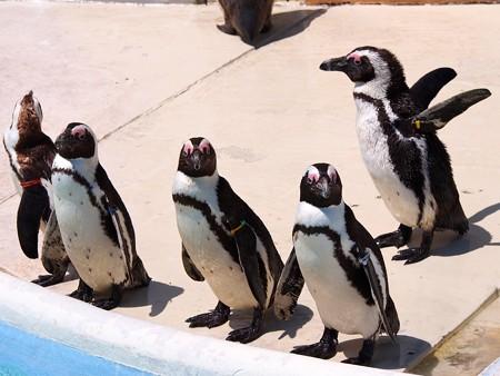 20130413 志摩 ペンギンズ02