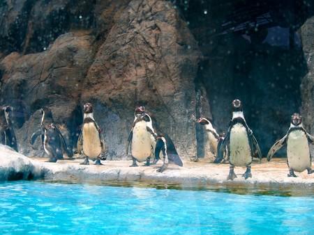 20130414 鳥羽 ペンギンのお散歩20