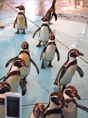 20130414 鳥羽 ペンギンのお散歩18