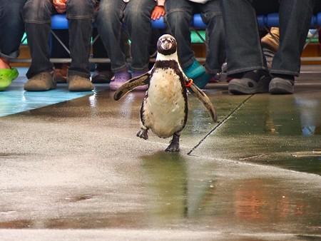 20130414 鳥羽 ペンギンのお散歩16