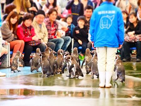 20130414 鳥羽 ペンギンのお散歩10