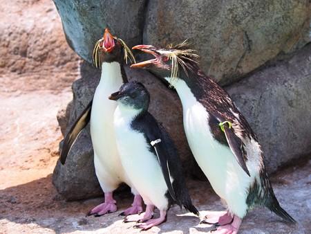 20130629 油壺 ペンギン親子