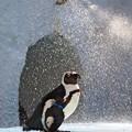 Photos: 20130831 8月最後のペンギンプール02