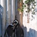 Photos: 20130831 8月最後のペンギンプール01