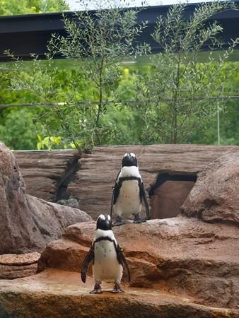 20130905 京都水 ペンギンプール02