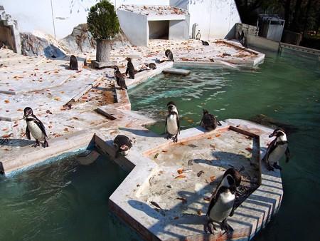20131117 羽村 秋のペンギン達01
