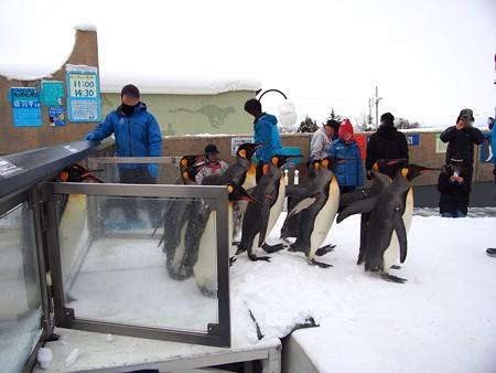 20140124 旭山 ペンギンの散歩01