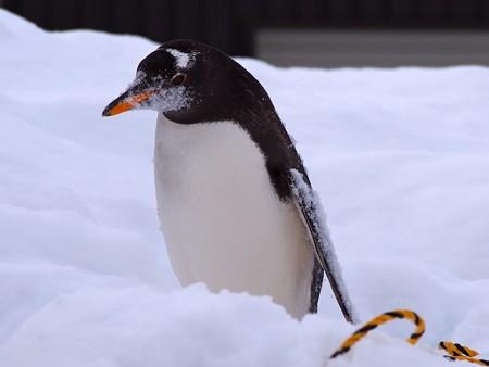 20140124 旭山 ペンギンの散歩19