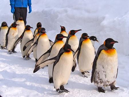 20140124 旭山 ペンギンの散歩27