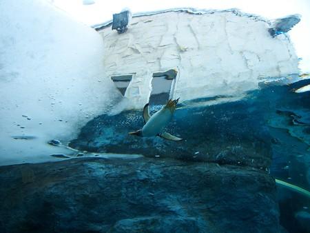 20140124 旭山 ペンギンプール06